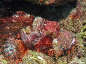 Scorpionfish - somewhere?!