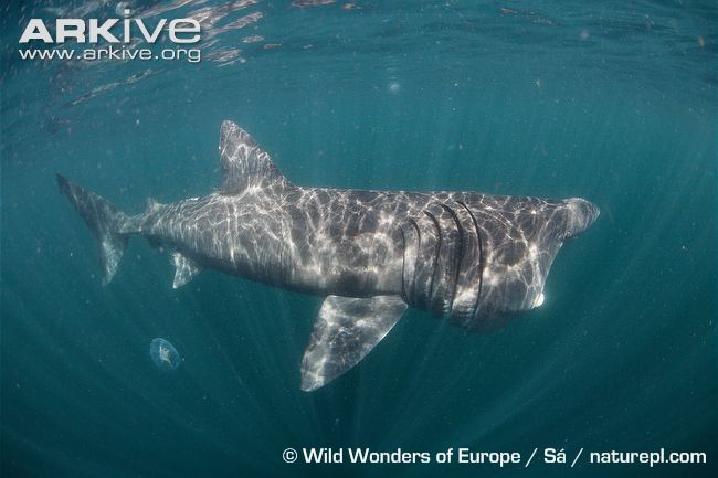Basking-shark-feeding-2