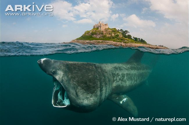 Basking-shark-feeding-at-waters-surface