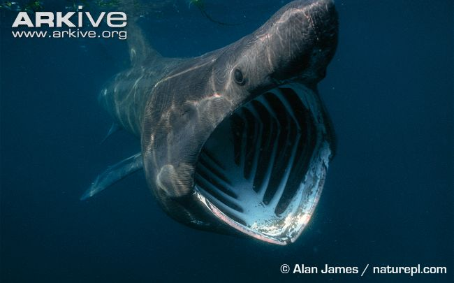 Basking-shark-feeding-mouth-detail