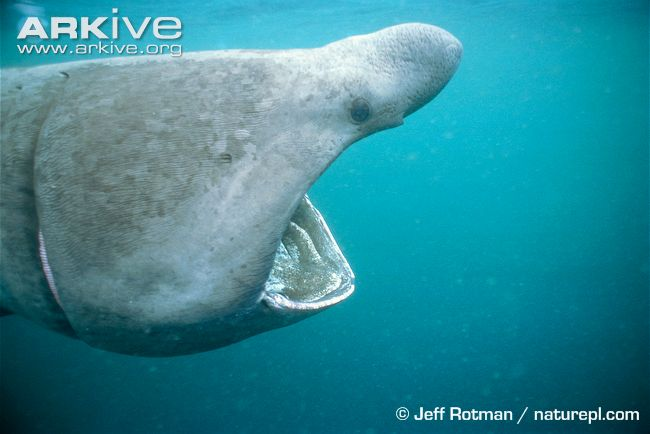Basking-shark-feeding