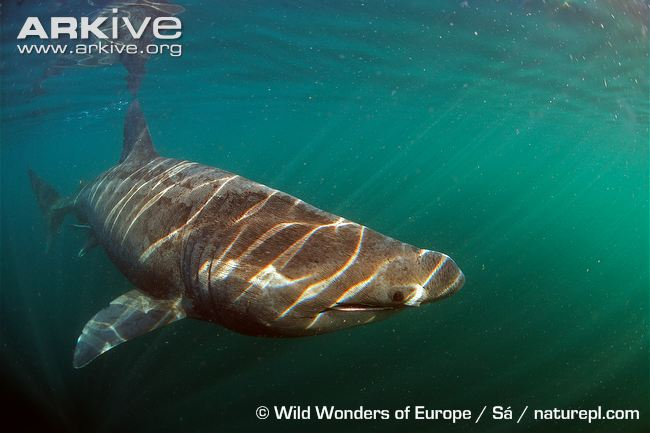 Basking-shark-swimming-just-below-the-surface