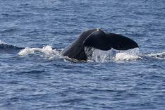 Sperm Whale © Planet Whale