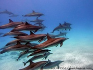 Spinner Dolphin © HEPCA