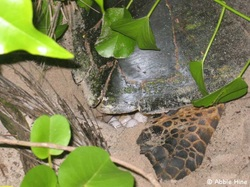 Nesting Hawksbill Turtle © WiseOceans/Abbie Hine