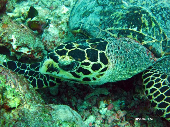 Hawksbill turtle © WiseOceans/Abbie Hine