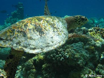 Hawksbill Turtle © Abbie Hine