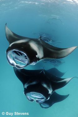 Mantas chain feeding