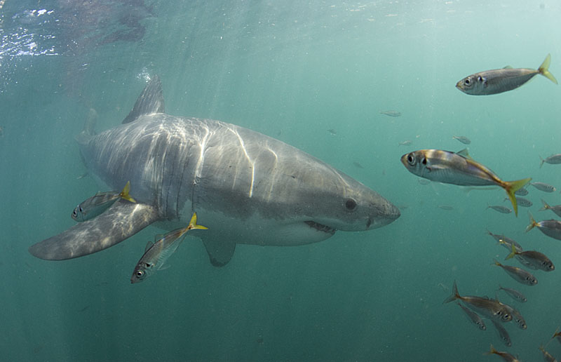 Great White Shark © Save Our Seas Foundation Peter Verhoog