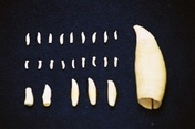 The teeth can be used to identify families and even age cetaceans once they have passed away © CRRU