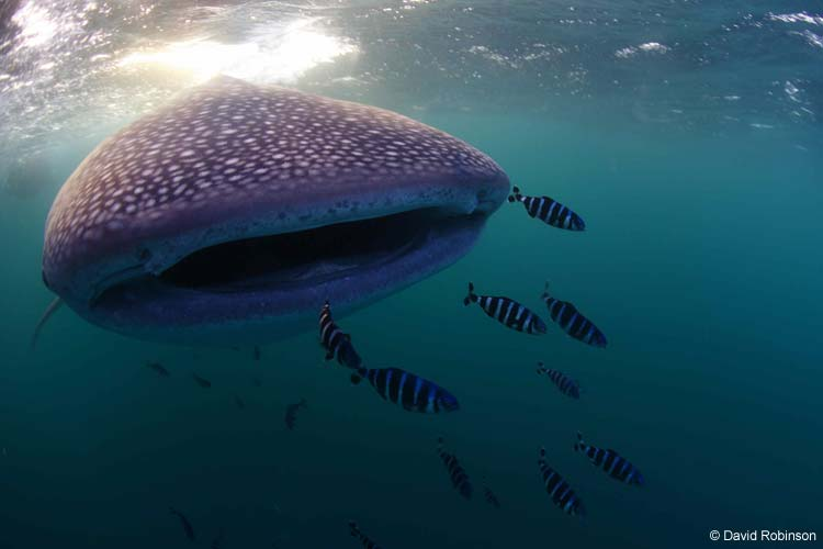 Whale Shark ©David Robinson