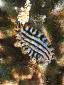 Nudibranch ©WiseOceans