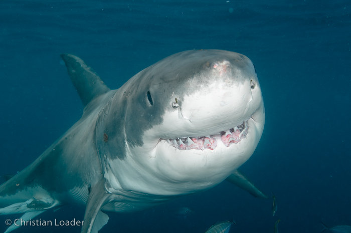 Great White Shark © Christian Loader