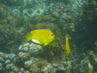 Three Spot Angelfish © WiseOceans