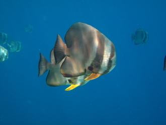 Batfish © WiseOceans