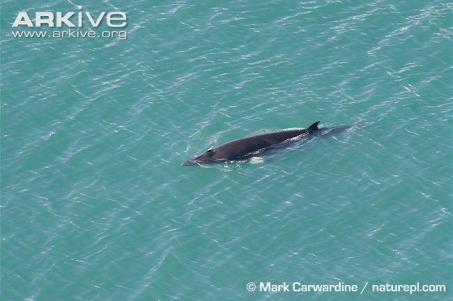 Common-minke-whale-dorsal-profile
