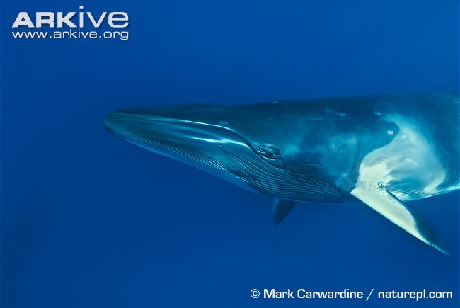 Dwarf-minke-whale-head-detail