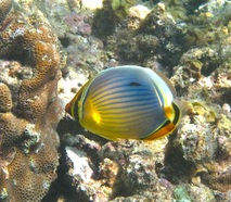 Indian red-fin Butterflyfish © WiseOceans