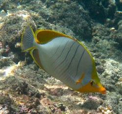 Yellowhead Butterflyfish © WiseOceans