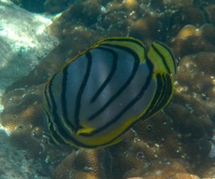 Meyer's Butterflyfish © WiseOCeans