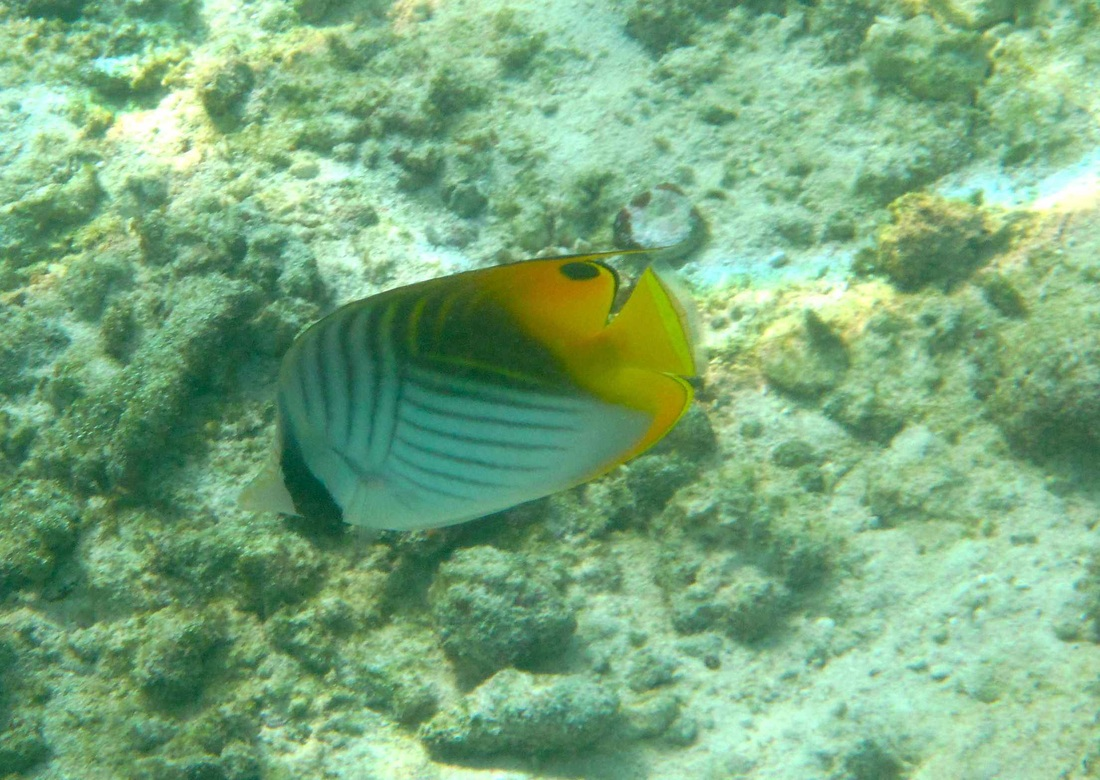 Threadfin Butterflyfish © WiseOceans
