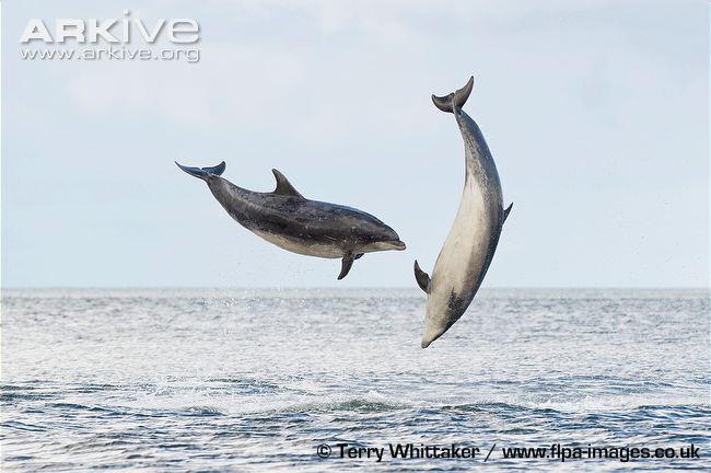 common bottlenose dolphin3