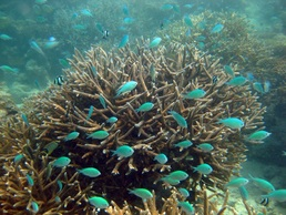 Blue-green Chromis © WiseOceans