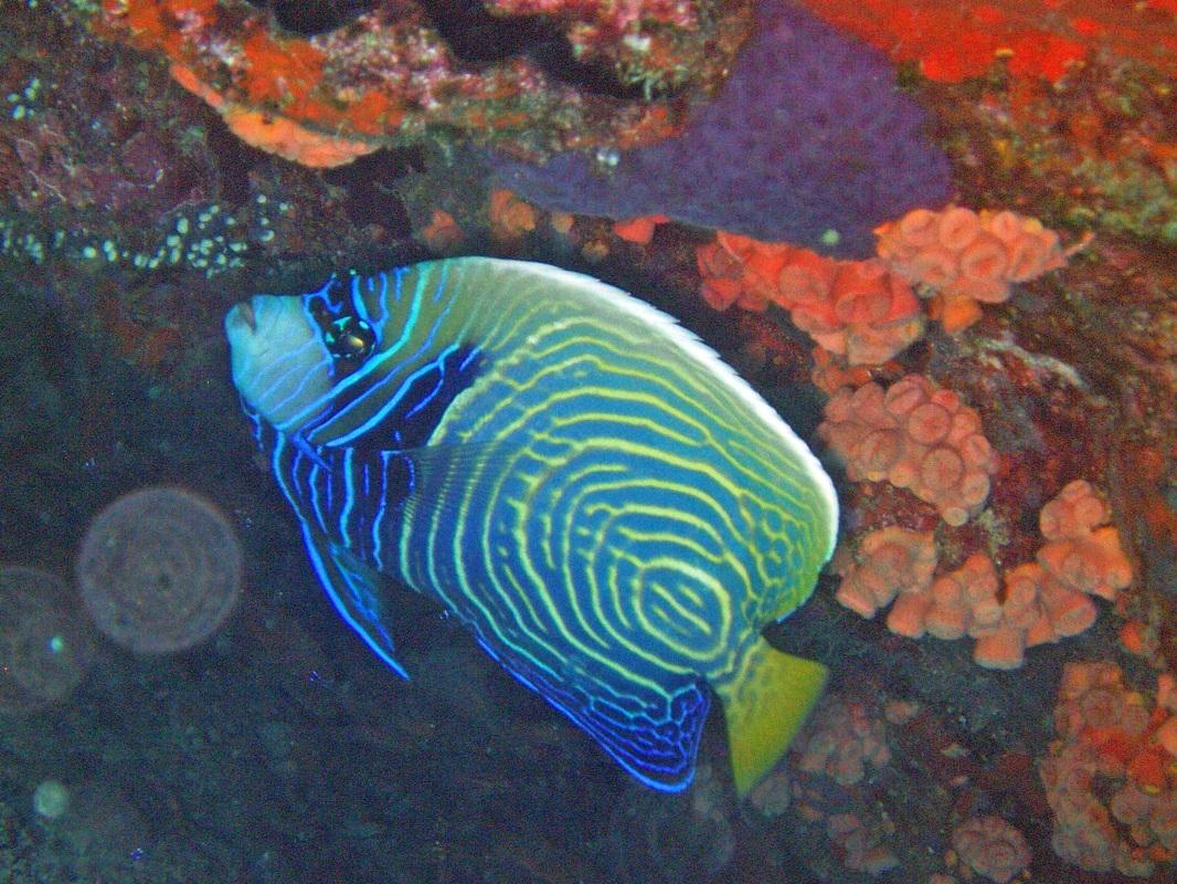 Juvenile Emperor Angelfish © WiseOceans