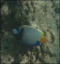 Emperor Angelfish © WiseOceans
