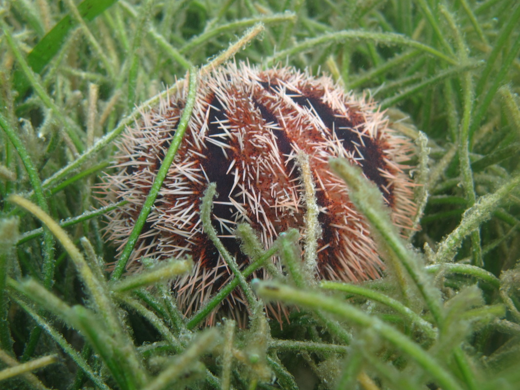 Urchin © WiseOceans