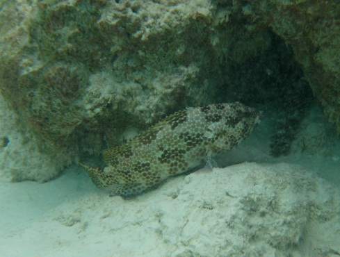 Foursaddle Grouper © WiseOceans