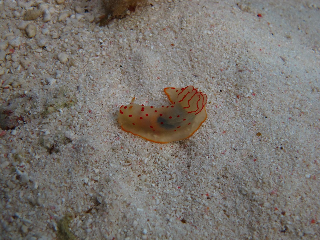 Nudibranch  © WiseOceans