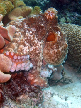 Octopus © WiseOceans