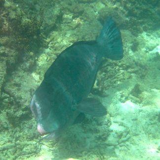 Bumphead Parrotfish © WiseOceans