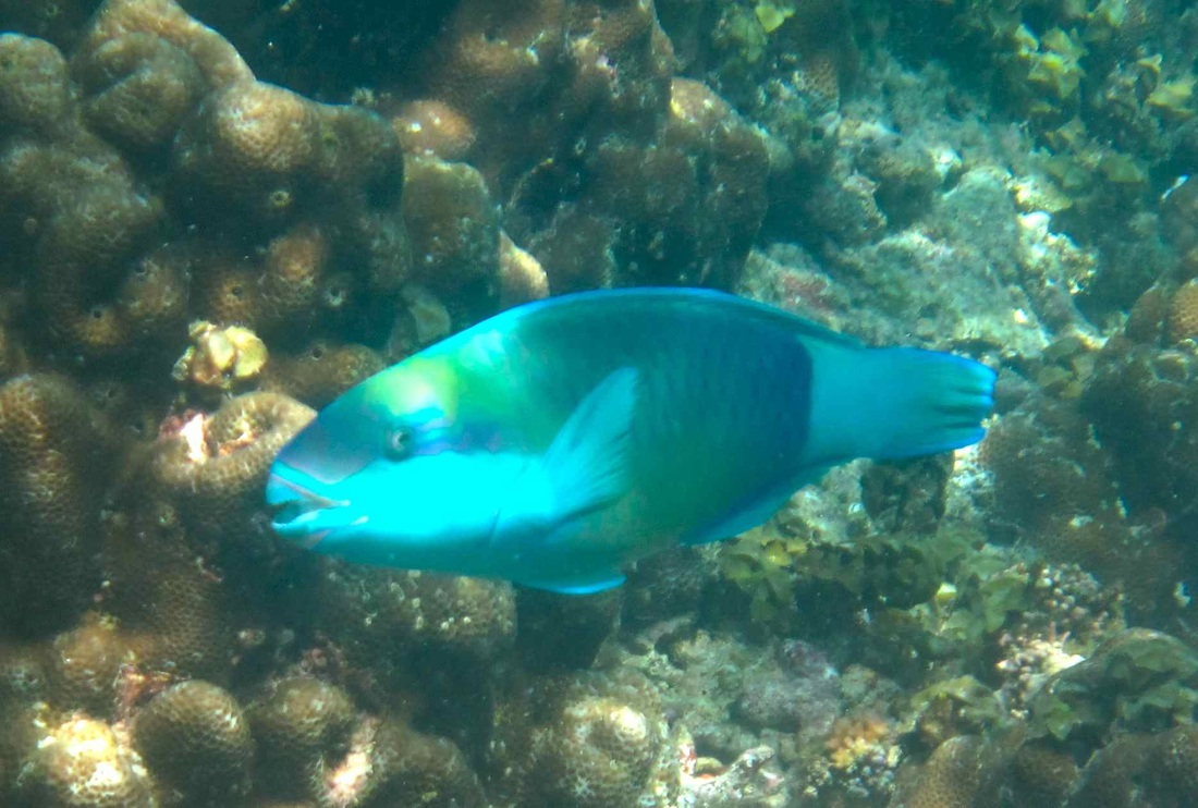 Male Bullethead Parrotfish © WiseOceans