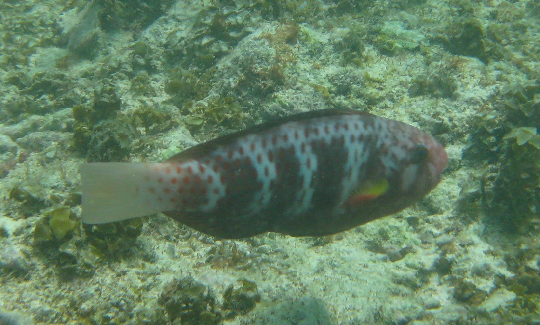 Female Indian Parrotfish © WiseOceans