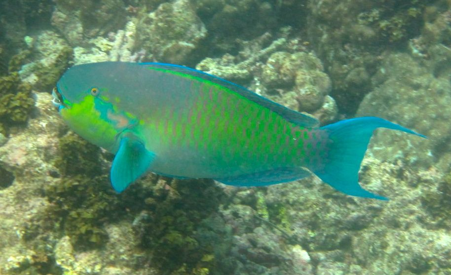Male Roundhead Parrotfish © WIseOceans