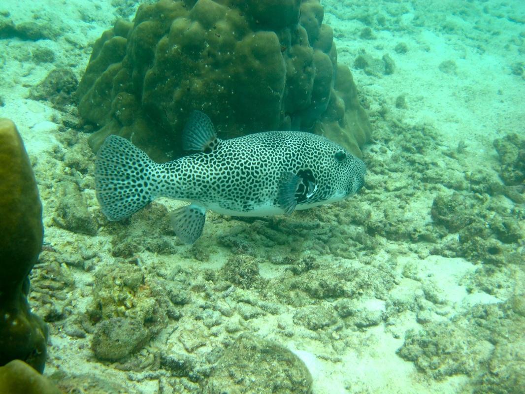 Star Pufferfish © WiseOceans