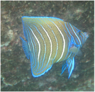 Juvenile Semicircle Angelfish © WiseOCeans