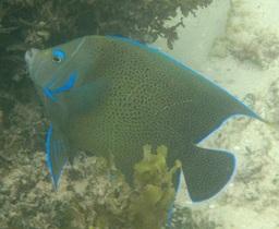 Semicircle Angelfish © WiseOceans
