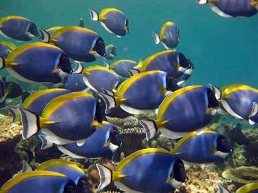 Powder-blue Surgeonfish © WiseOceans