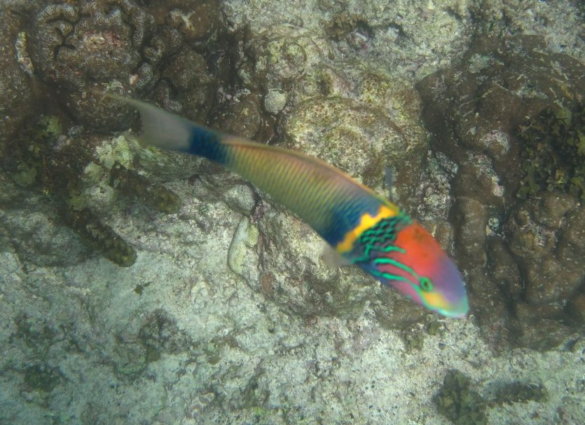 Gold bar Wrasse © WiseOceans