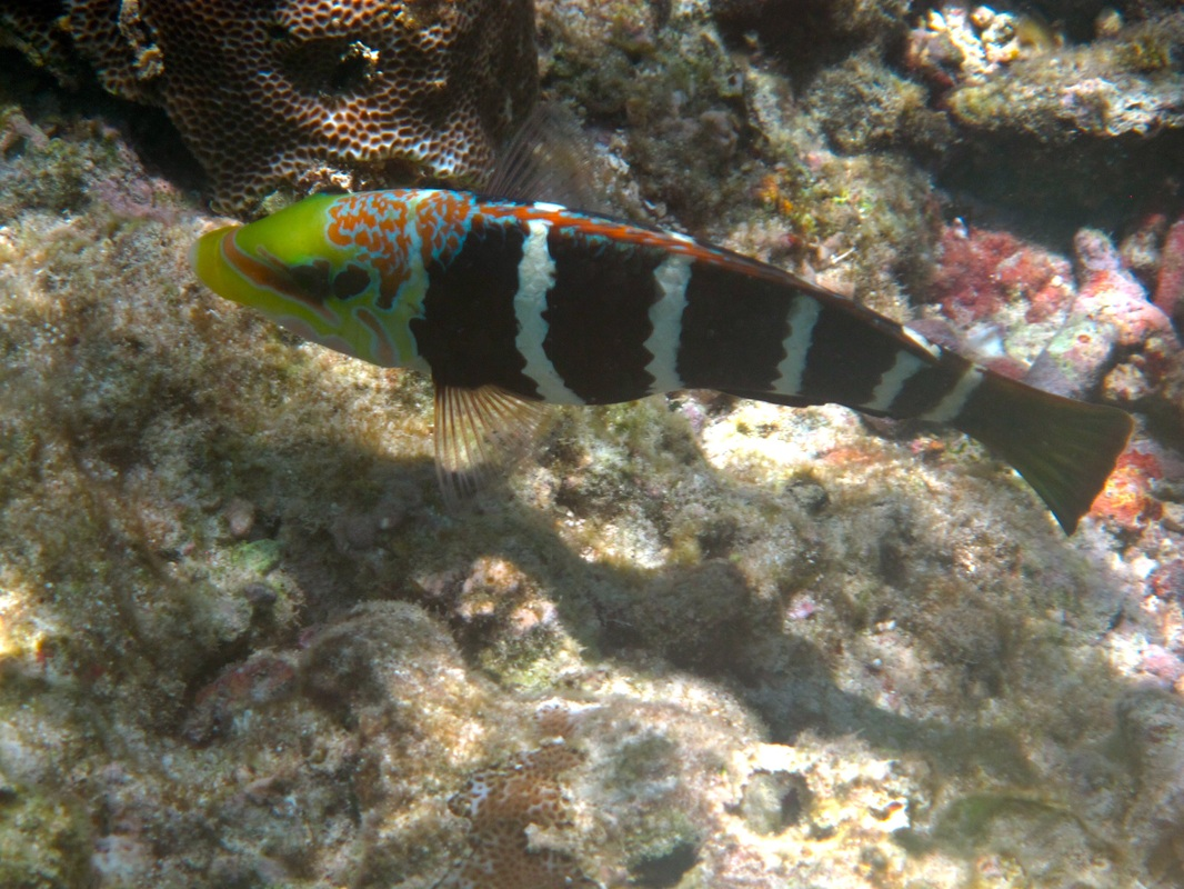 Barred Thick-lip Wrasse © WiseOceans