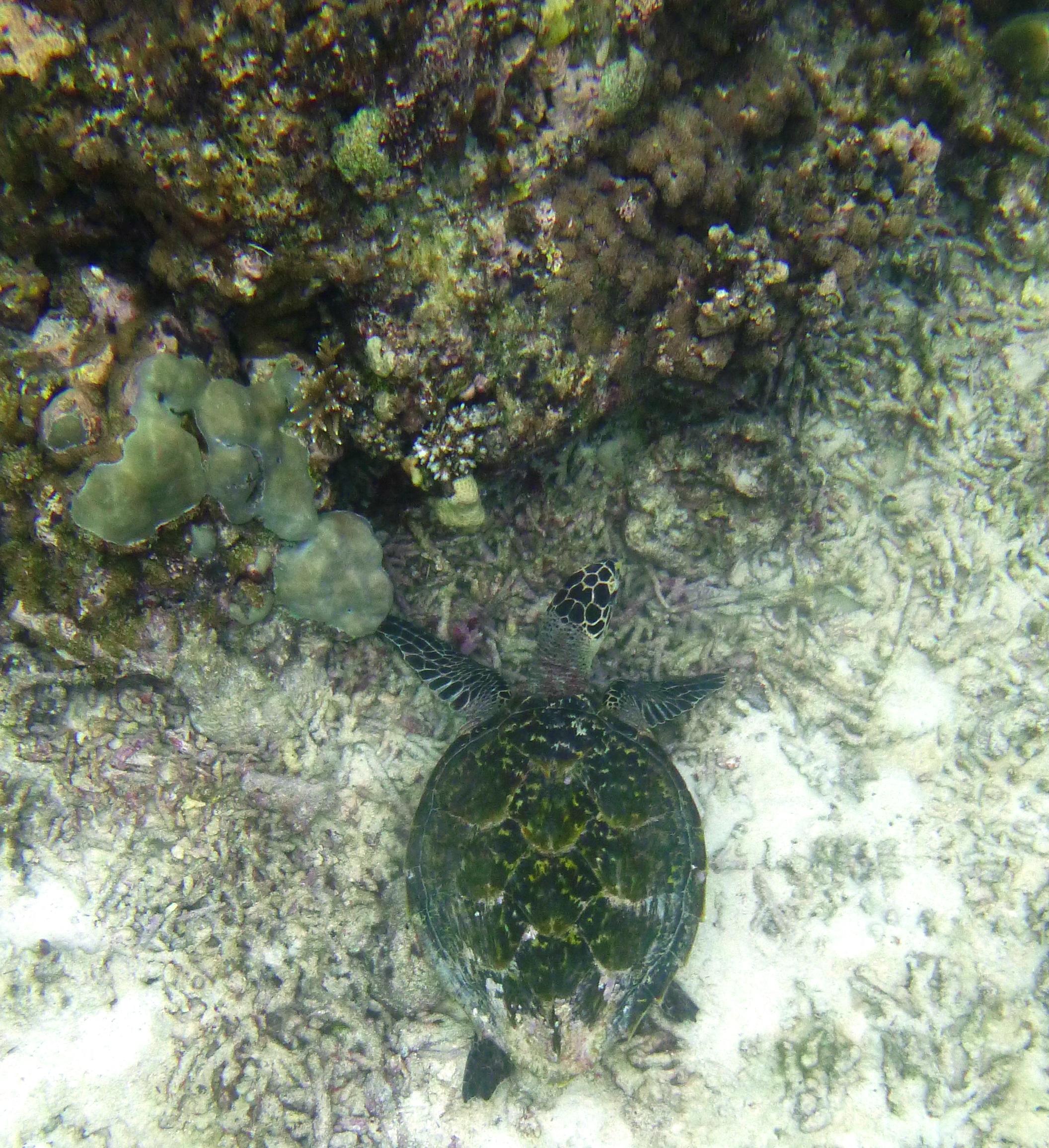 Hawksbill turtle in Petite Anse