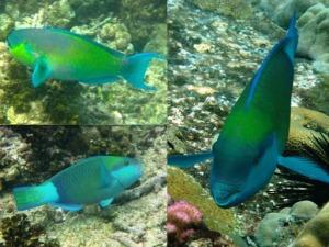 3 Parrotfish