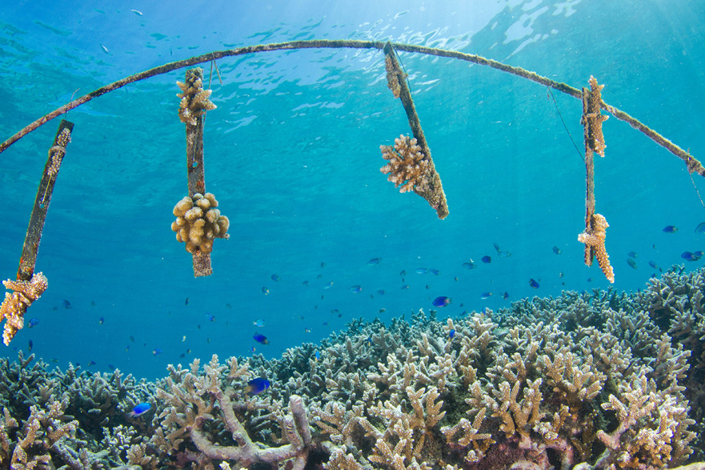 The Petite Anse Reef Restoration Project by WiseOceans at Four Seasons Resort Seychelles © Chris Mason-Parker
