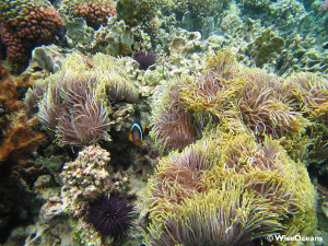 Anemone fish and multiple anemones, FSRM, Aug 2015 © WiseOceans