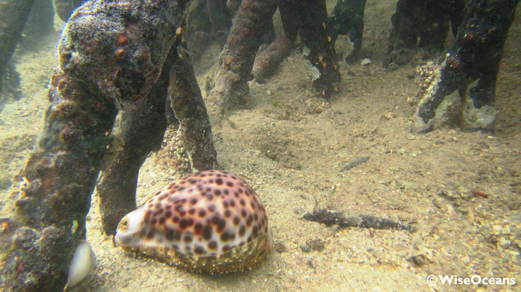 Cowrie in Mangroves, FSRM, Aug 2015 © WiseOceans