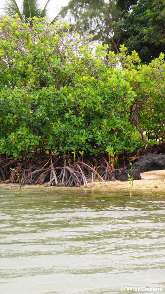 View of mangroves, FSRM © WiseOceans