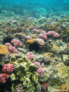 Coral of Mauritius, FSRM, Oct 2015 © WiseOceans